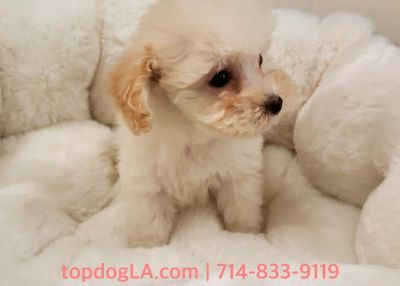 Maltipoo Puppy - Female - Rainbow ($1,299)
