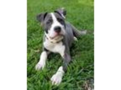 Adopt Royal a Pit Bull Terrier