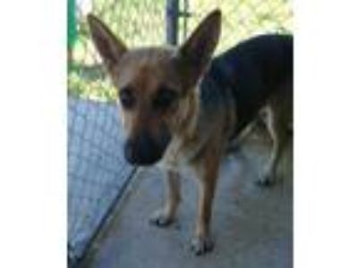 Adopt Rose(Understands Only Spanish) a Black German Shepherd Dog / Mixed dog in