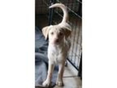 Adopt May a Tan/Yellow/Fawn Labrador Retriever / Mixed dog in Portland