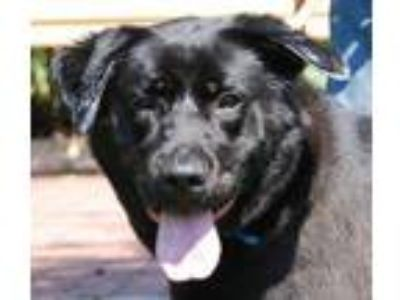 Adopt Chester a Labrador Retriever
