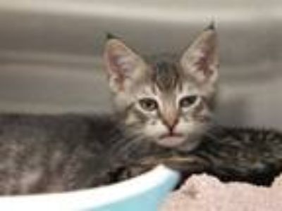 Adopt TIPS a Brown Tabby Domestic Shorthair / Mixed (short coat) cat in