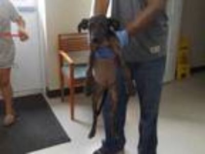Adopt 42277876 a Black Hound (Unknown Type) / Mixed dog in Cleveland
