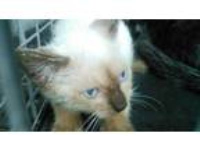 Adopt a Brown or Chocolate Siamese / Mixed (short coat) cat in Fort Lauderdale