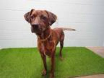 Adopt ZACH a Brindle - with White Plott Hound / Mixed dog in St.