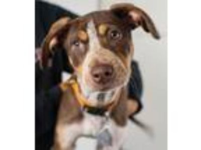 Adopt Biloxi Puppy Foster Needed 5/18 a Catahoula Leopard Dog, Beagle