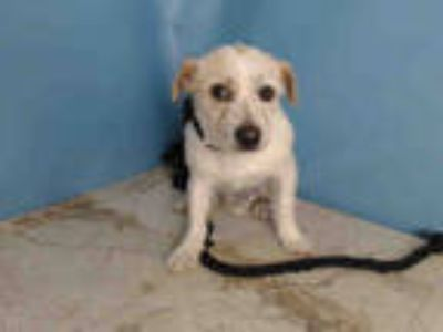 Adopt TONTIW a White - with Tan, Yellow or Fawn Terrier (Unknown Type