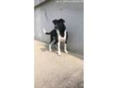 Adopt Roundabout a Border Collie