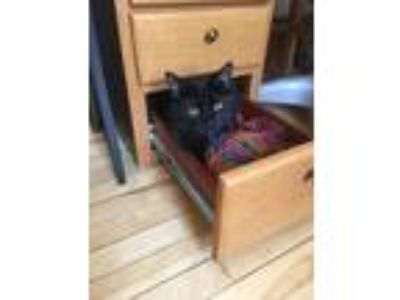 Adopt Diddy a All Black Domestic Shorthair cat in Minneapolis, MN (25307958)
