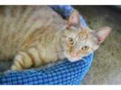 Adopt Beetle a Orange or Red Domestic Shorthair / Domestic Shorthair / Mixed cat