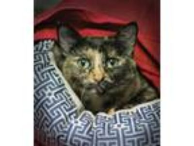 Adopt Key Key a Tortoiseshell, Domestic Short Hair