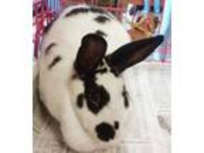 Adopt Buster a White Californian / Californian / Mixed rabbit in Galveston