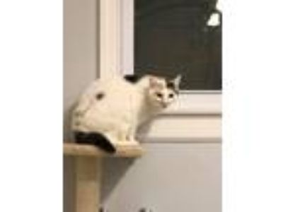 Adopt Camile a Calico or Dilute Calico Domestic Shorthair (short coat) cat in