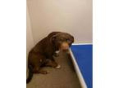 Adopt Ned a Brown/Chocolate Labrador Retriever / Mixed dog in Louisburg