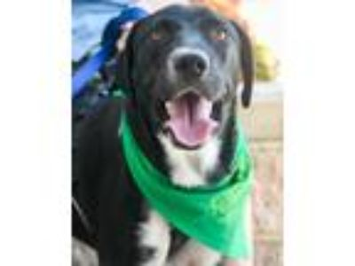 Adopt Mickey a Labrador Retriever