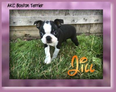 Jill Female AKC Boston Terrier