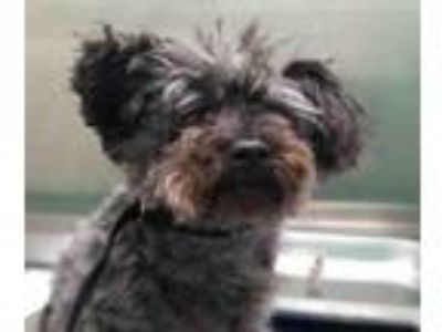 Adopt Coco a Poodle
