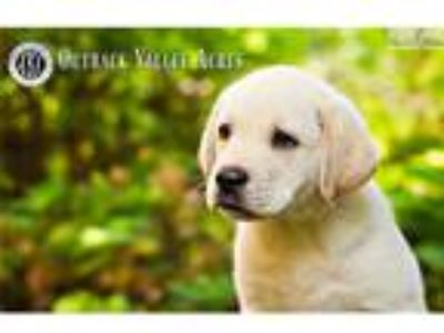 AKC Yellow Labrador Retriever Puppies