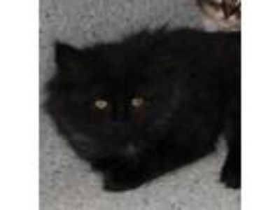 Adopt Wookie a All Black Domestic Shorthair / Domestic Shorthair / Mixed cat in