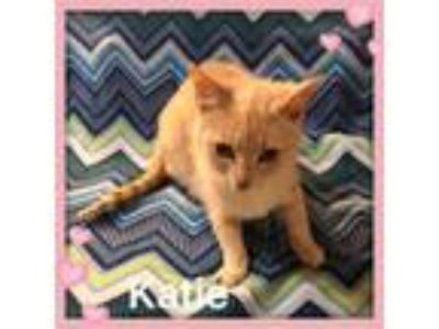 Adopt Katie a Tabby, Domestic Short Hair