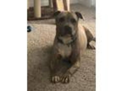 Adopt Arlo a Pit Bull Terrier