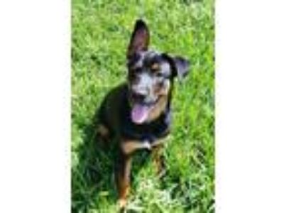 Adopt Ace a Black - with Tan, Yellow or Fawn German Shepherd Dog / Rottweiler