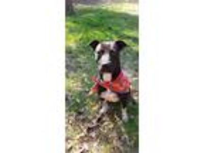 Adopt Bella a Black - with White American Staffordshire Terrier / Mixed Breed