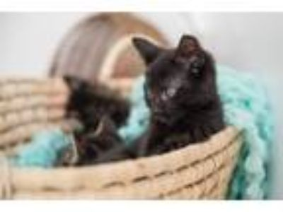 Adopt Ojita a All Black Domestic Shorthair / Mixed cat in St.