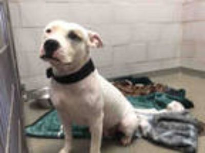 Adopt STRAY a White - with Brown or Chocolate American Pit Bull Terrier / Mixed