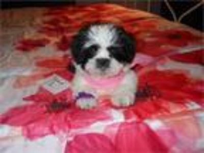 Aca Lhasa Apso Female Fluffy Puppy