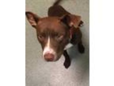 Adopt Cash a Brown/Chocolate American Staffordshire Terrier / Mixed dog in