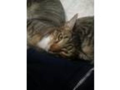 Adopt Jerry a Brown Tabby Domestic Shorthair / Mixed (short coat) cat in Los
