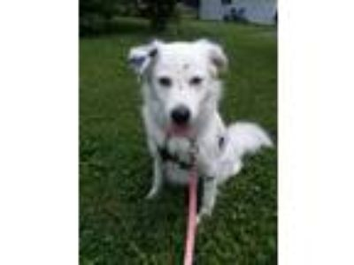 Adopt Spot a White - with Black Labrador Retriever / Shepherd (Unknown Type) dog