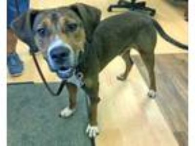 Adopt Auggie a German Shorthaired Pointer, Shepherd