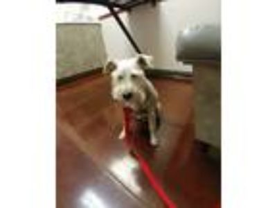 Adopt Barney a White - with Gray or Silver Miniature Schnauzer / Mixed dog in