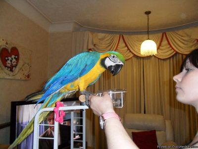 Green wing, Blue and Gold macaw For Sale.