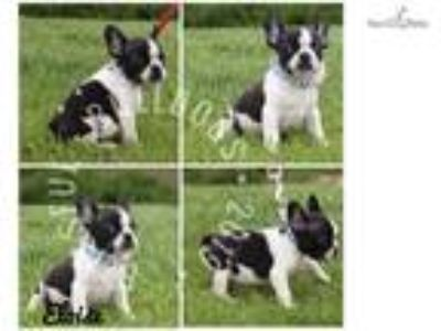 Brindle Pied Female French Bulldog