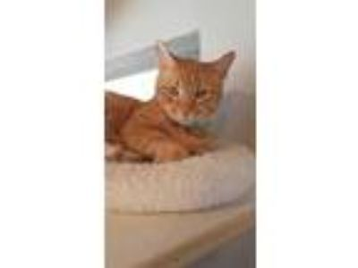 Adopt Pete a Orange or Red Domestic Shorthair / Mixed cat in Xenia