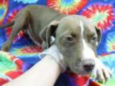 Adopt Albert a Brown/Chocolate American Pit Bull Terrier / Mixed dog in Morton