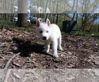 Siberian Husky PUPPY FOR SALE ADN-128602 - Husky Puppies