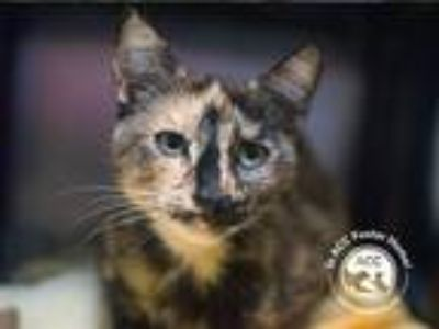Adopt Kitty Kitty a Domestic Shorthair / Mixed (short coat) cat in Brooklyn
