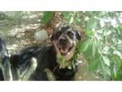 Adopt tally a Black - with Tan, Yellow or Fawn Husky / Rottweiler / Mixed dog in