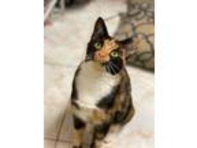 Adopt Delilah a Tortoiseshell Domestic Shorthair (short coat) cat in