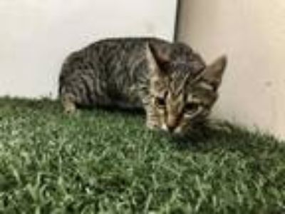 Adopt *TABBY a Brown Tabby Domestic Shorthair / Mixed (short coat) cat in