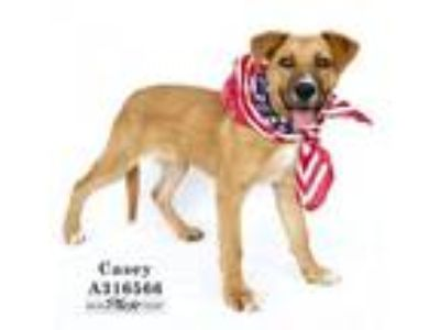 Adopt CASEY a Border Collie, Rottweiler