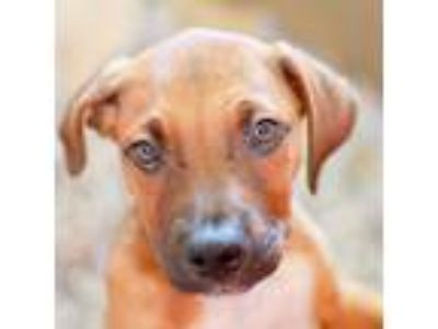 Adopt Schultz a Brown/Chocolate Mixed Breed (Large) / Mixed dog in Alpharetta