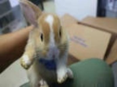 Adopt HAZEL a Tan Other/Unknown / Mixed rabbit in Redlands, CA (25463845)
