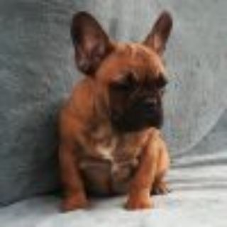 French Bulldog PUPPY FOR SALE ADN-105629 - AKC Bailey