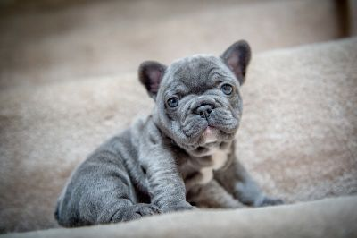 French Bulldog PUPPY FOR SALE ADN-108169 - AKC Blue French Bulldog Puppies