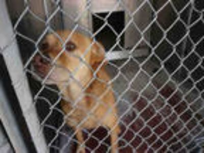 Adopt LOLLI a Red/Golden/Orange/Chestnut Golden Retriever / German Shepherd Dog